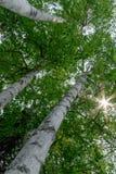 Árboles de abedul Fotografía de archivo libre de regalías