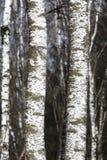 Árboles de abedul Imágenes de archivo libres de regalías