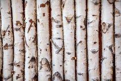 Árboles de abedul Fotografía de archivo