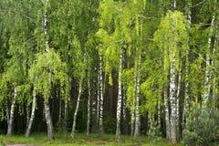 Árboles de abedul al borde del bosque Imagen de archivo libre de regalías