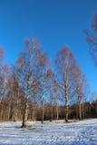 Árboles de abedul al día de invierno soleado Fotos de archivo libres de regalías