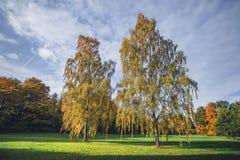 Árboles de abedul altos en colores del otoño Imagenes de archivo