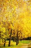 Árboles de abedul amarillo Imagen de archivo libre de regalías