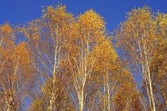 Árboles de abedul amarillo contra un cielo azul brillante Imágenes de archivo libres de regalías