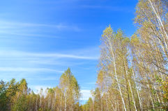 Árboles de abedul amarillo contra un cielo azul brillante Fotos de archivo libres de regalías