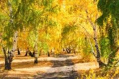 Árboles de abedul amarillo en bosque del otoño Imágenes de archivo libres de regalías