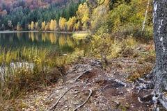 Árboles de abedul amarillo por el lago Paisaje con el lago y el bosque Imágenes de archivo libres de regalías