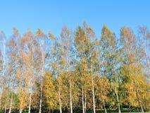 Árboles de abedul amarillos agradables del otoño, Lituania Fotos de archivo libres de regalías