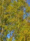 Árboles de abedul amarillos del otoño en el viento Imagen de archivo