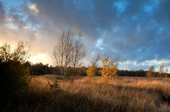 Árboles de abedul anaranjados en luz caliente de la puesta del sol Imágenes de archivo libres de regalías
