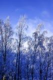 Árboles de abedul blanco altos en helada del invierno en un fondo del cielo azul Imagenes de archivo