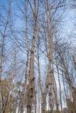Árboles de abedul blanco americanos - papyrifera de la betula Fotografía de archivo