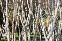 Árboles de abedul blanco americanos - papyrifera de la betula Foto de archivo