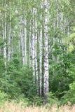 Árboles de abedul blanco con la corteza de abedul hermosa Foto de archivo