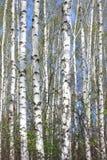Árboles de abedul blanco con la corteza de abedul hermosa Imagen de archivo