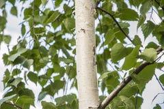 Árboles de abedul blanco con la corteza de abedul hermosa en una arboleda del abedul Fotografía de archivo