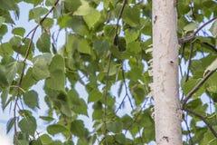 Árboles de abedul blanco con la corteza de abedul hermosa en una arboleda del abedul Fotografía de archivo libre de regalías
