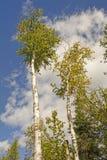 Árboles de abedul blanco contra el cielo Imagen de archivo libre de regalías