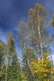 Árboles de abedul blanco en Autumn Forest Fotografía de archivo libre de regalías