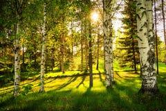 Árboles de abedul blanco en bosque con el sol Imagenes de archivo