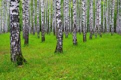 Árboles de abedul blanco en el bosque en verano, hierba verde Fotos de archivo libres de regalías