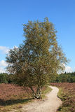 Árboles de abedul blanco en el campo del brezo Fotografía de archivo libre de regalías