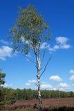 Árboles de abedul blanco en el campo del brezo Fotos de archivo