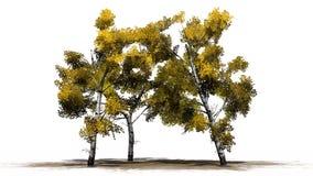 Árboles de abedul blanco en el otoño en erea de la arena Imagen de archivo libre de regalías