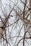 Árboles de abedul blanco en invierno Imágenes de archivo libres de regalías