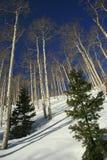 Árboles de abedul blanco en la nieve de Utah Imagenes de archivo