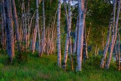 Árboles de abedul blanco en la salida del sol Imagenes de archivo
