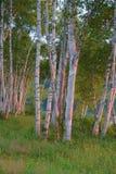 Árboles de abedul blanco en la salida del sol Fotografía de archivo libre de regalías