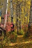 Árboles de abedul blanco en otoño Fotos de archivo libres de regalías