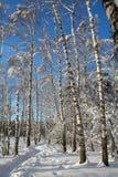 Árboles de abedul blanco en sol brillante Fotos de archivo