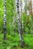 Árboles de abedul blanco en un claro en un bosque verde Imágenes de archivo libres de regalías