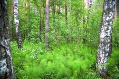 Árboles de abedul blanco en un claro en un bosque verde Imagen de archivo