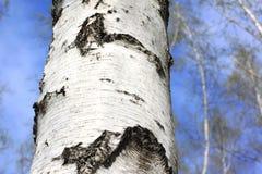 Árboles de abedul blanco hermosos en primavera en bosque Fotografía de archivo