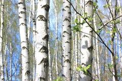 Árboles de abedul blanco hermosos en primavera en bosque Foto de archivo