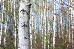 Árboles de abedul blanco hermosos en primavera en bosque Fotografía de archivo libre de regalías