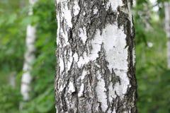 Árboles de abedul blanco hermosos en primavera en bosque Fotos de archivo