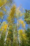 Árboles de abedul blanco (papyrifera de Betula) en Autumn Against un S azul Fotografía de archivo libre de regalías