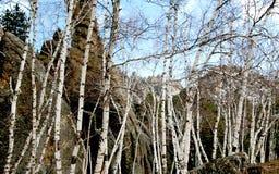 Árboles de abedul de blanco puro sin las hojas Foto de archivo