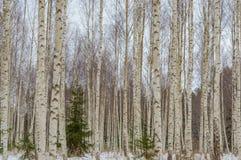 árboles de abedul blancos en nieve del invierno Fotos de archivo