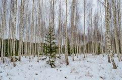 árboles de abedul blancos en nieve del invierno Fotos de archivo libres de regalías