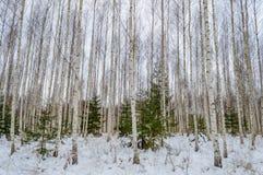 árboles de abedul blancos en nieve del invierno Imágenes de archivo libres de regalías