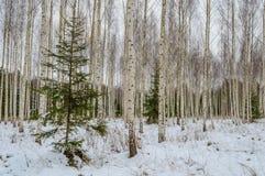 árboles de abedul blancos en nieve del invierno Fotografía de archivo