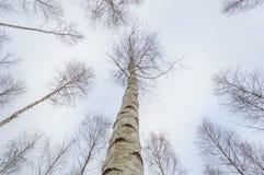 árboles de abedul blancos en nieve del invierno Fotografía de archivo libre de regalías