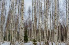 árboles de abedul blancos en nieve del invierno Imagen de archivo