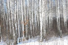 Árboles de abedul blancos y negros con la corteza de abedul en invierno en nieve Foto de archivo libre de regalías