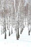 Árboles de abedul blancos y negros con la corteza de abedul en invierno en nieve Imagen de archivo